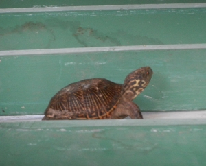Small turtle racer.  Norine Dresser photo collection, 2014.