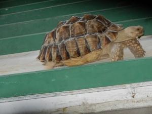 Giant desert tortoise.  Norine Dresser photo collection, 2014.